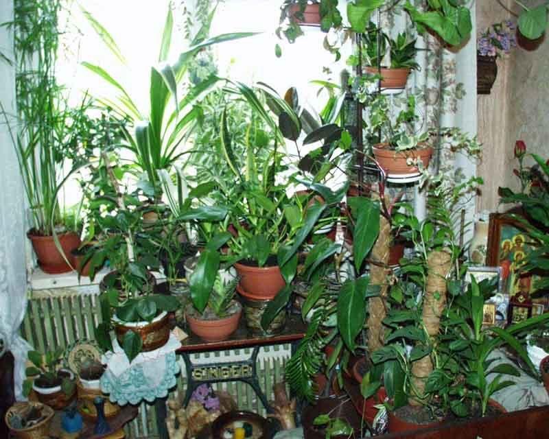 комнатные растения фото талисманы для дома